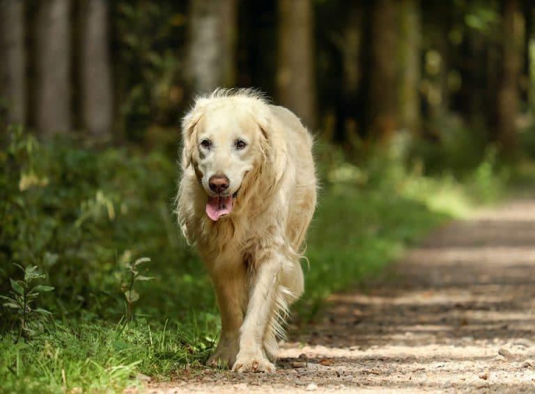 Assurance vieux chiens
